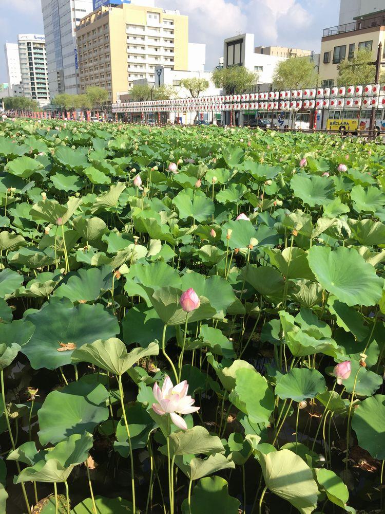 久保田城のお濠の蓮の花