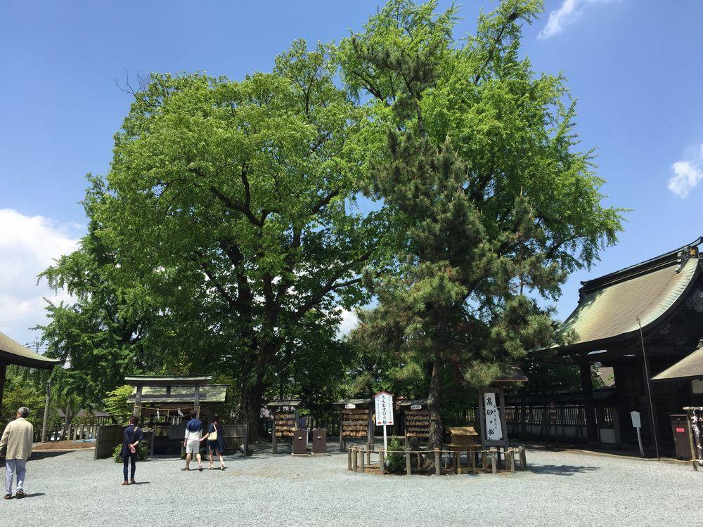 阿蘇神社の高砂の松画像