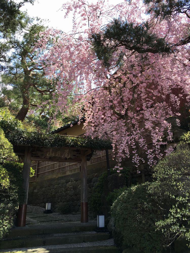 山乃尾の枝垂れ桜