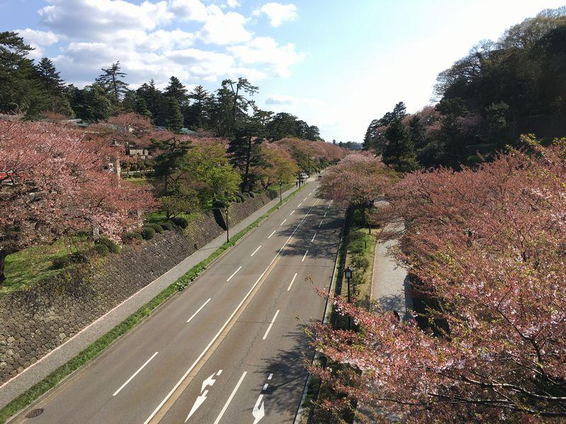 金沢の百間堀の桜並木