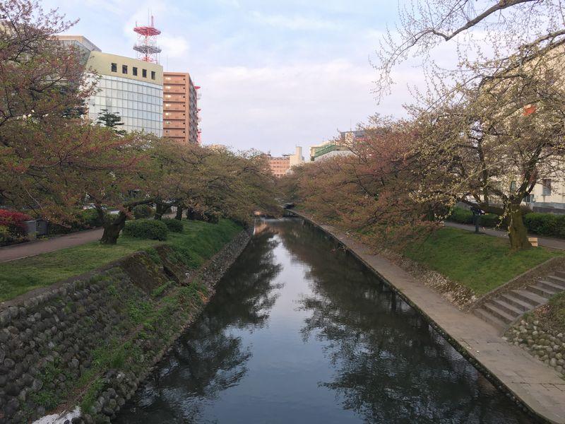 富山の松川の桜