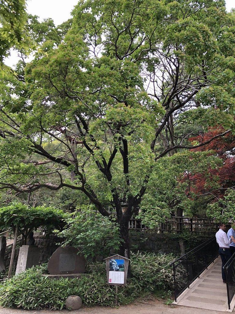 深大寺のなんじゃもんじゃの木1