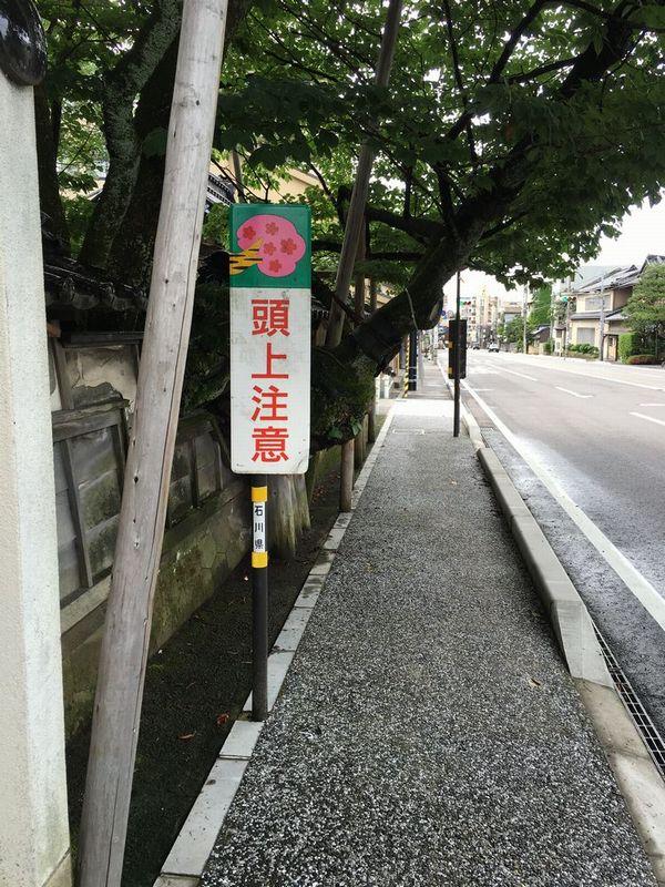 金沢の松月寺の大桜1