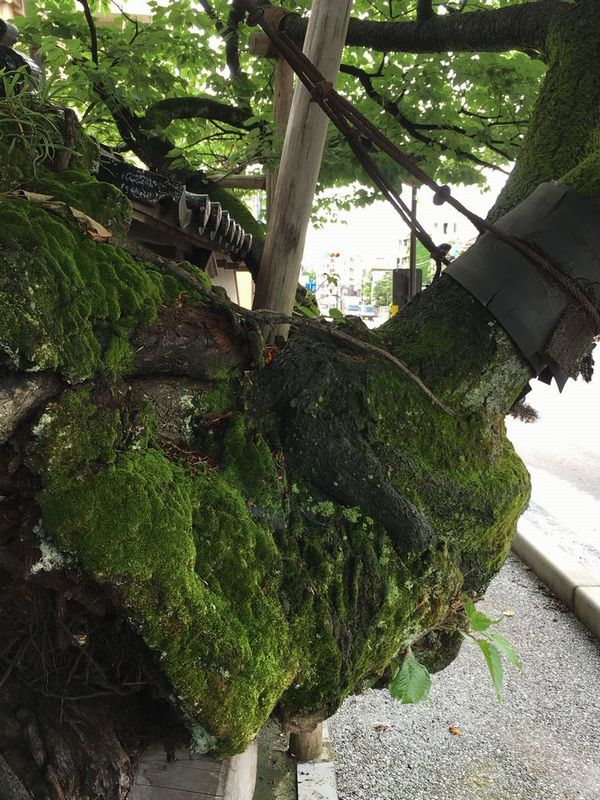 金沢の松月寺の大桜2