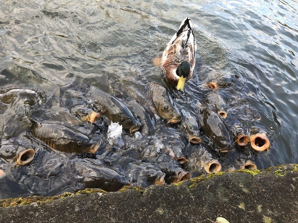 塩沢湖の鯉の餌やり
