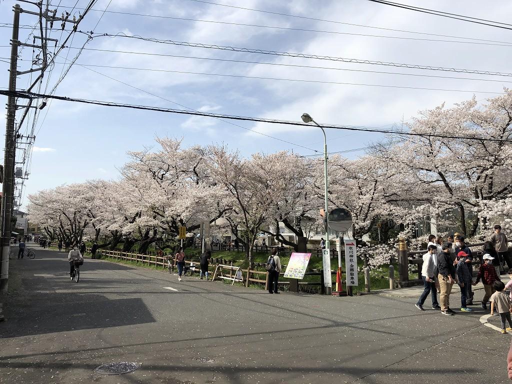 川越の新河岸川の桜1