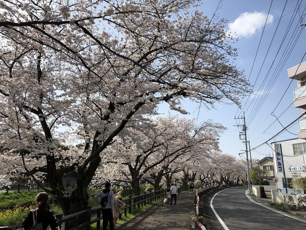 川越の新河岸川の桜3