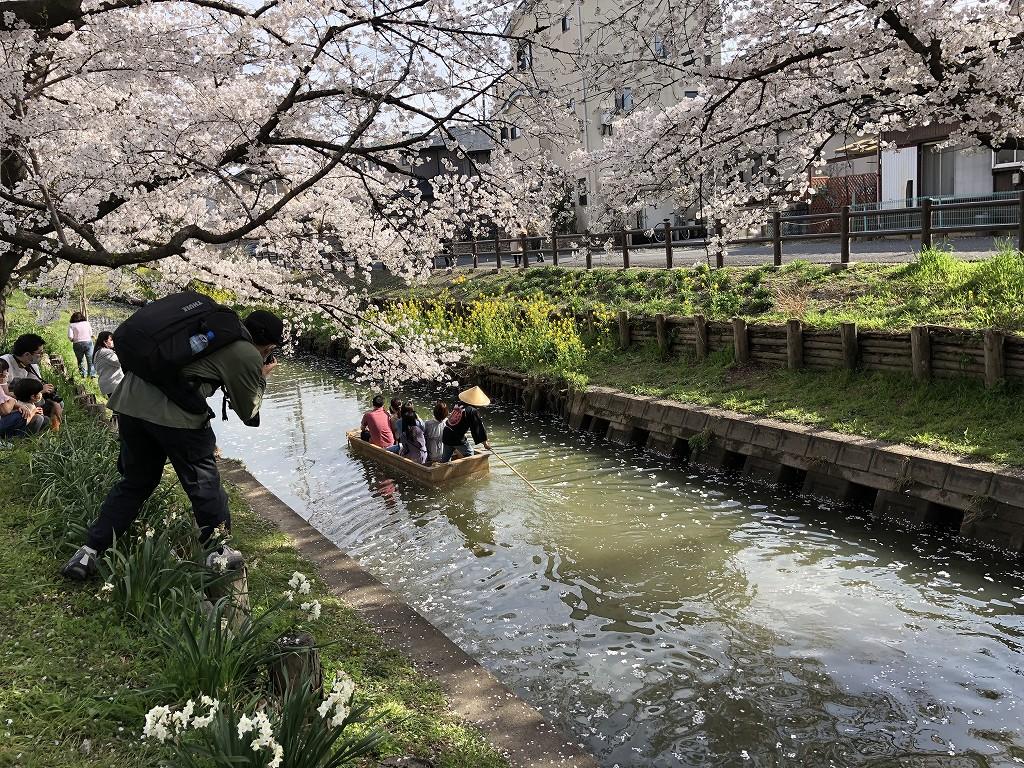 川越の新河岸川の桜4