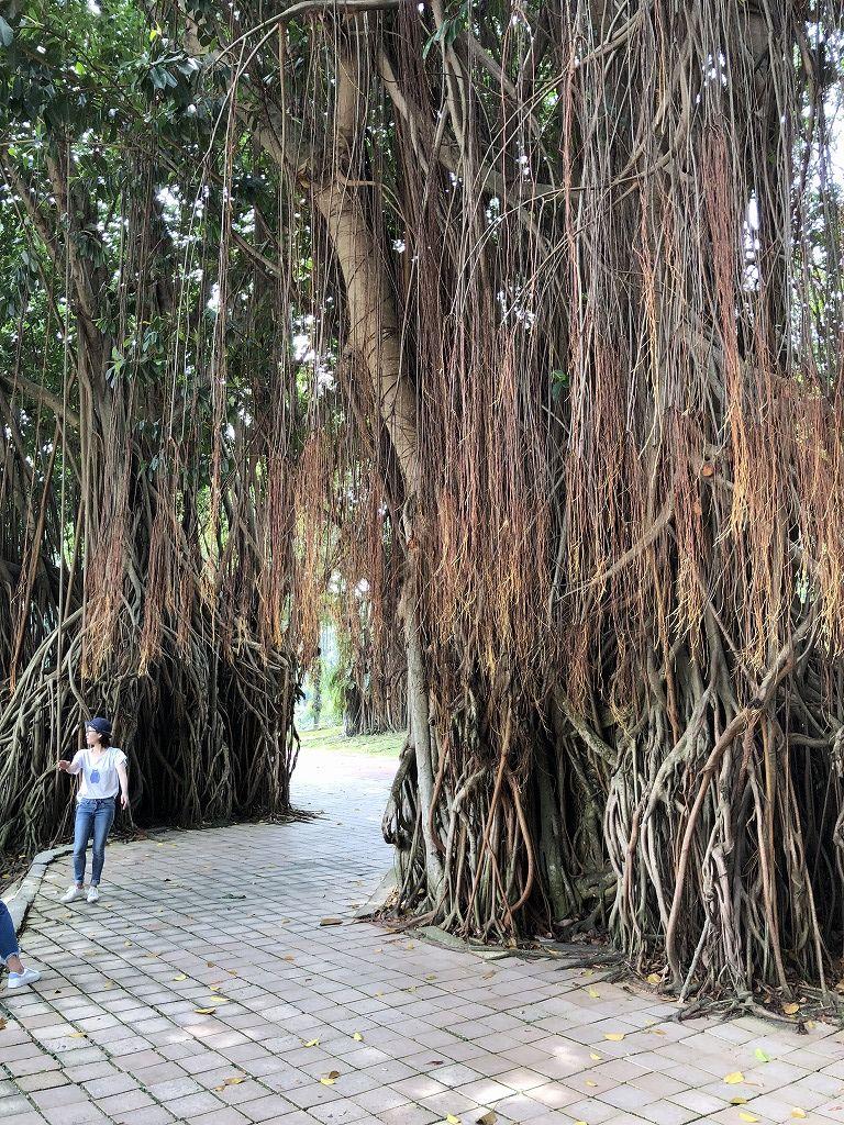 KLCC公園のガジュマルの木