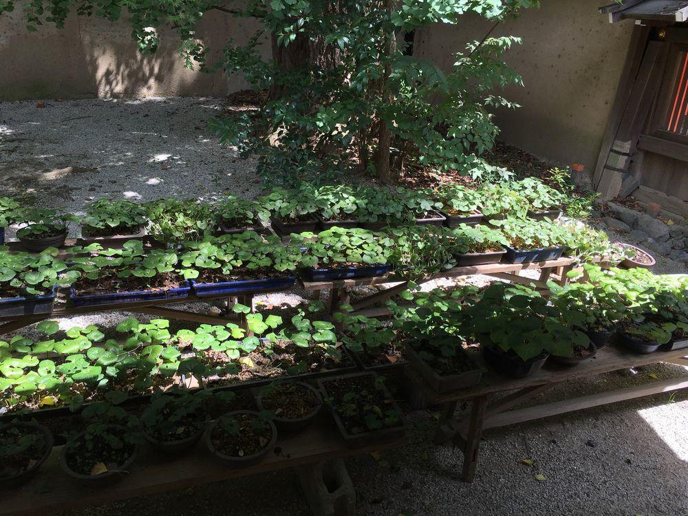 下鴨神社の河合神社の葵