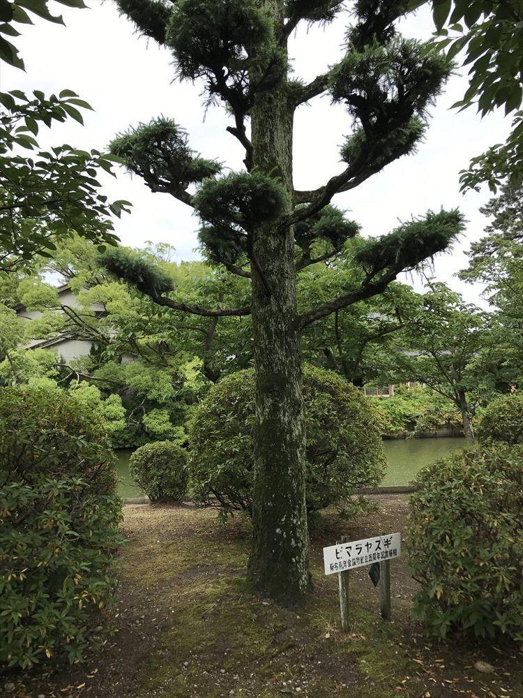 九華公園のヒマラヤスギ