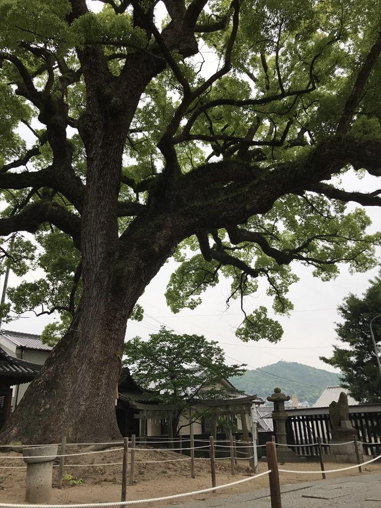 艮神社の大クスノキ1