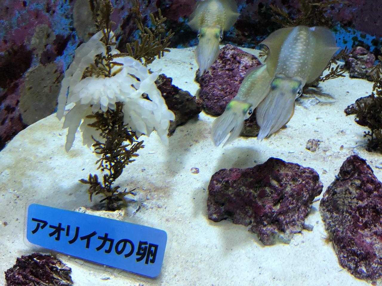 美ら海水族館のアオリイカ