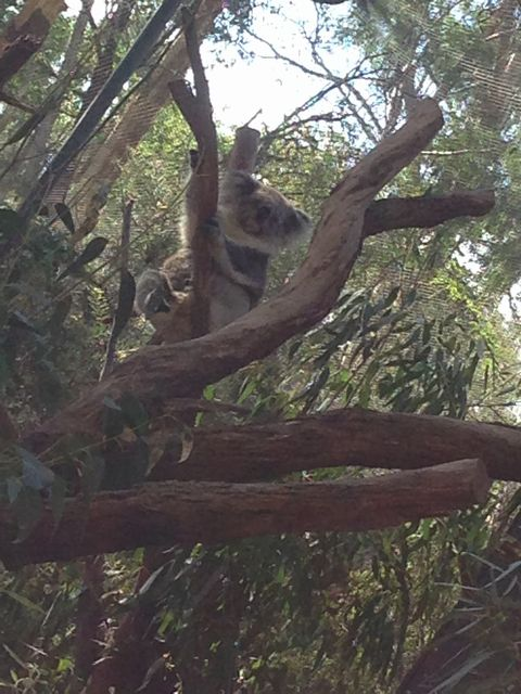 メルボルンのHEALESVILLE SANCTUARYのコアラ
