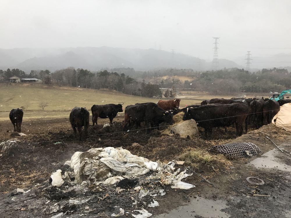 浪江町の希望の牧場の牛