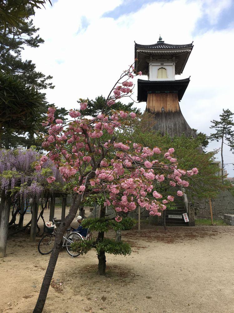 琴平町の高灯籠と八重桜・藤