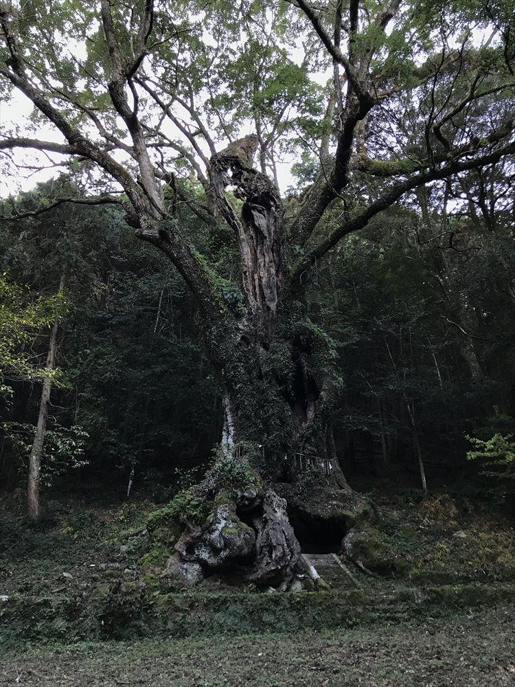 武雄神社の大楠2