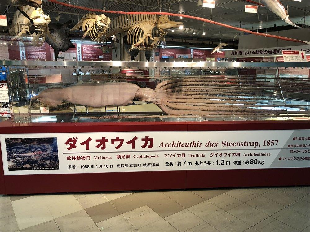 鳥取県立博物館のダイオウイカの液浸標本1