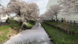 川越の新河岸川の桜